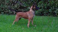 Είναι κατάλληλος σκύλος για εμένα ο Βελγικός ποιμενικός Malinois