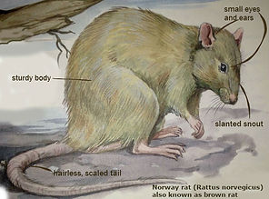 Norway-rat-description.jpg