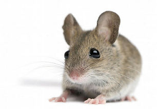 Texas-Rodents-type-of-rodents-and-identi