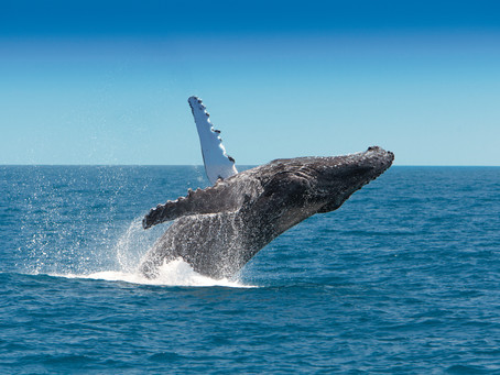 Whale Watching in North Queensland