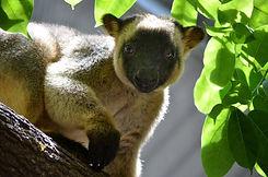 Lumholtzs-tree-kangaroo-Lucy-e1463447010