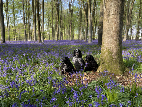 Ancient Woodlands and Bluebells with free meditation!