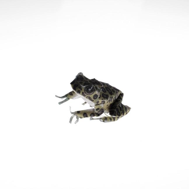 Leopard Frog, 2019