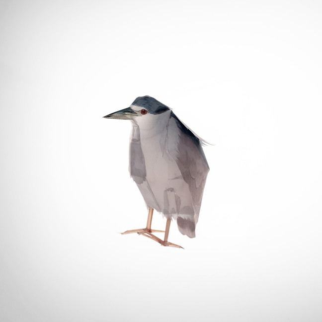 Black Crowned Night Heron, 2019