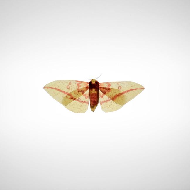 Imperial Moth, 2020