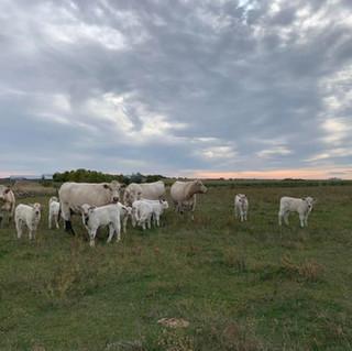 cowherd.jpg