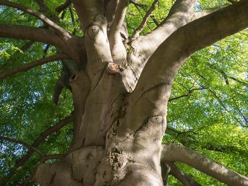 Plant Lore: European Beech (Fagus sylvatica)