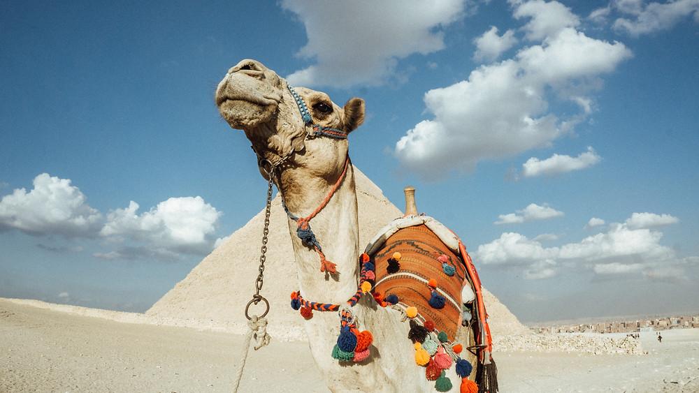 pyramid giza camel egypt cairo