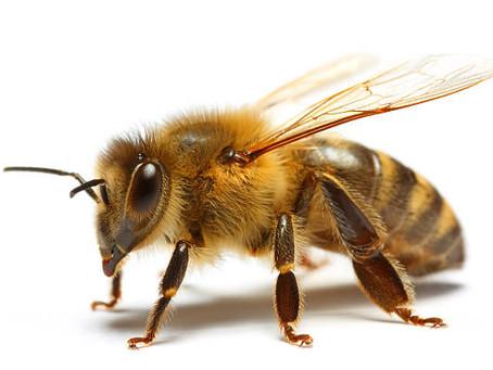 Miliardy včel umírají kvůli mandlovému mléku