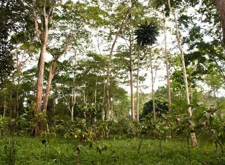 Du cacao au coeur de la forêt équatoriale