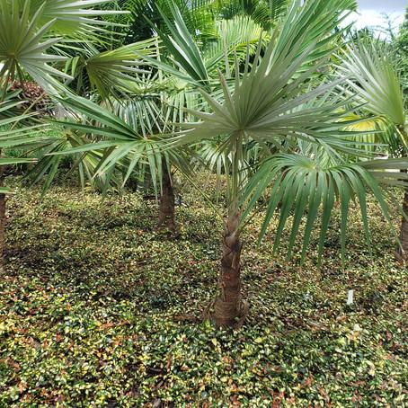 """Trachelospermum Asiaticum 'Minima' / """"Asian Jasmine"""""""