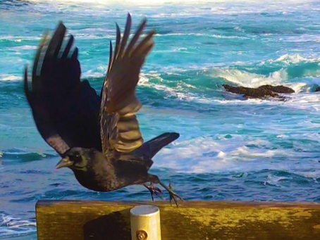 Crow with the Tide