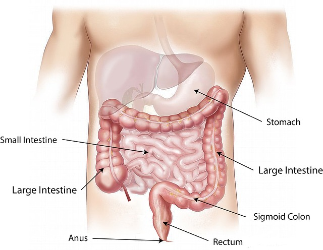 Labelled diagram of the human digestive tract—Source—Pixabay
