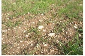 Sol caillouteux faisant obstacle à une bonne levée du blé