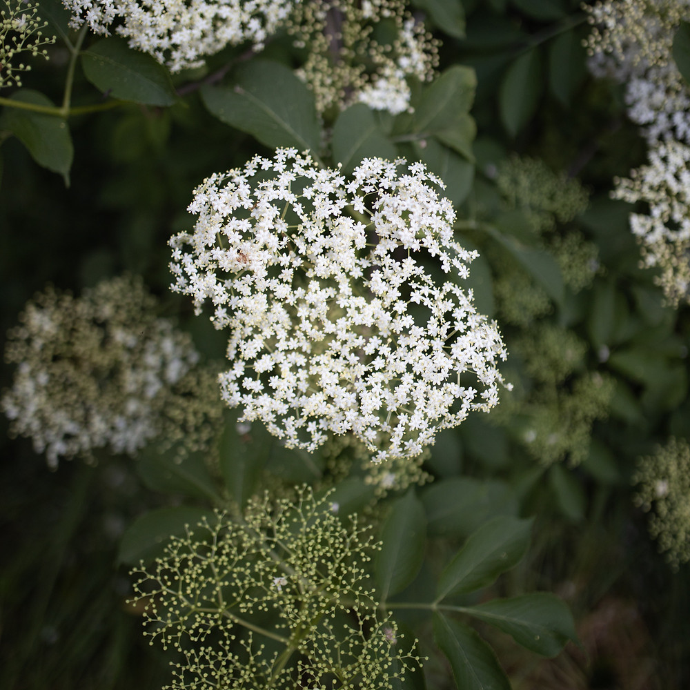 Elderflowers, photo by Corina Rainer on Unsplash