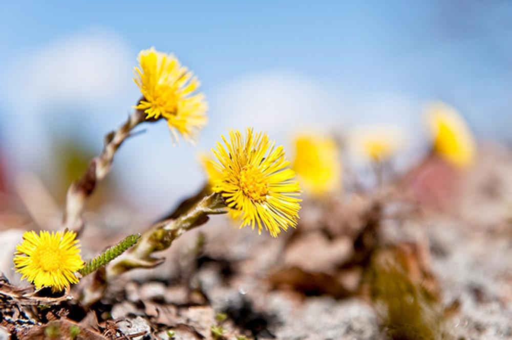 #vårkollen #vårtecken #svenskabotaniskaföreningen #klimatförändring #valborg