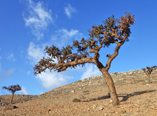 How is Frankincense Essential Oil Created?