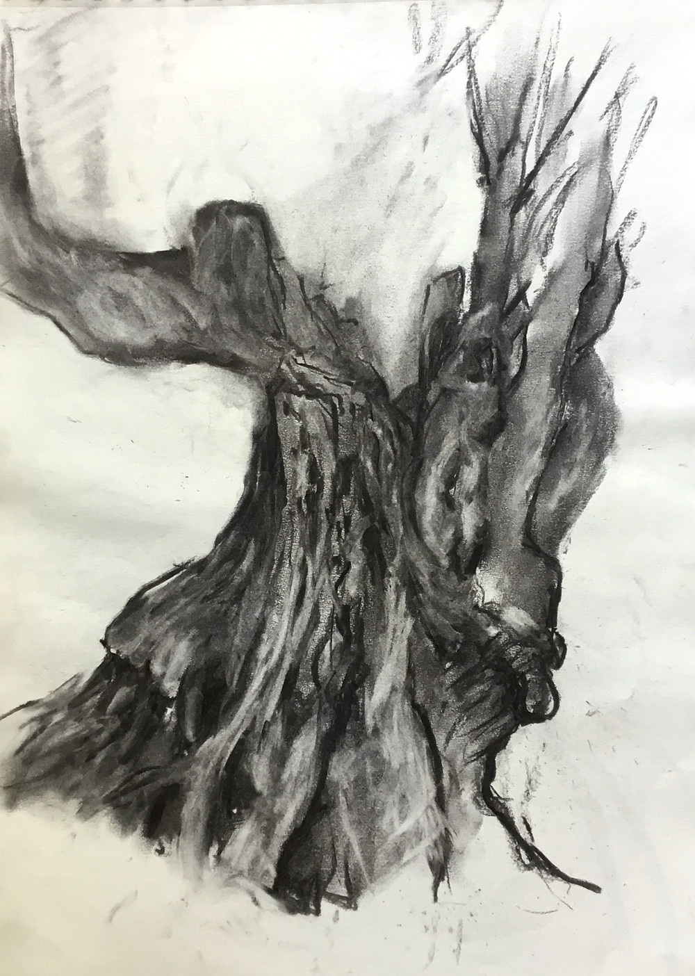Charcoal drawing in black and white of ancient olive tree, with twisted branches full of hollows, pitted with textures and bulging with knots.