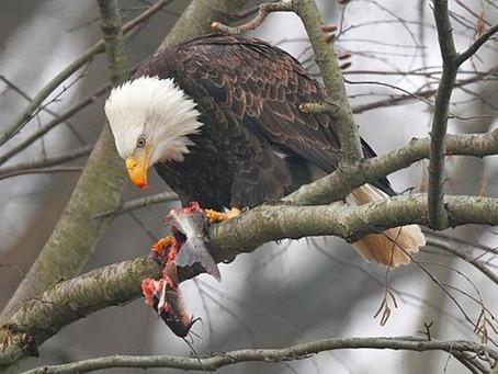 Bald Eagles at Loch Raven Reservoir -- Feb. 11 Guided Hike