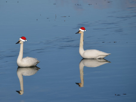 Return of the Trumpeter Swans