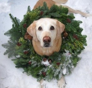 yellow lab with wreath wround his neck