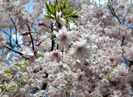 The Weeping Cherry