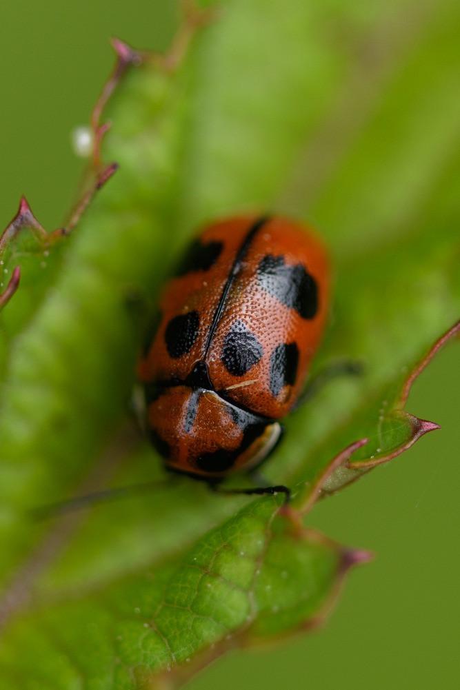 謎のテントウムシ(未同定) / A ladybird (unidentified)
