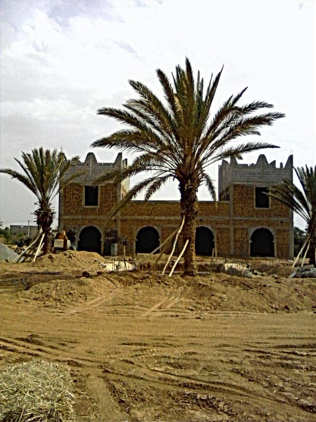 Les palmiers-dattiers à leur nouvel emplacement