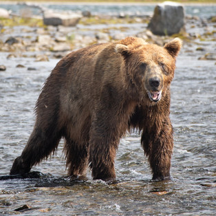 20200716 Alaska Bears-81-2.jpg