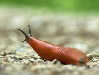 Organic Pest Control for Slugs