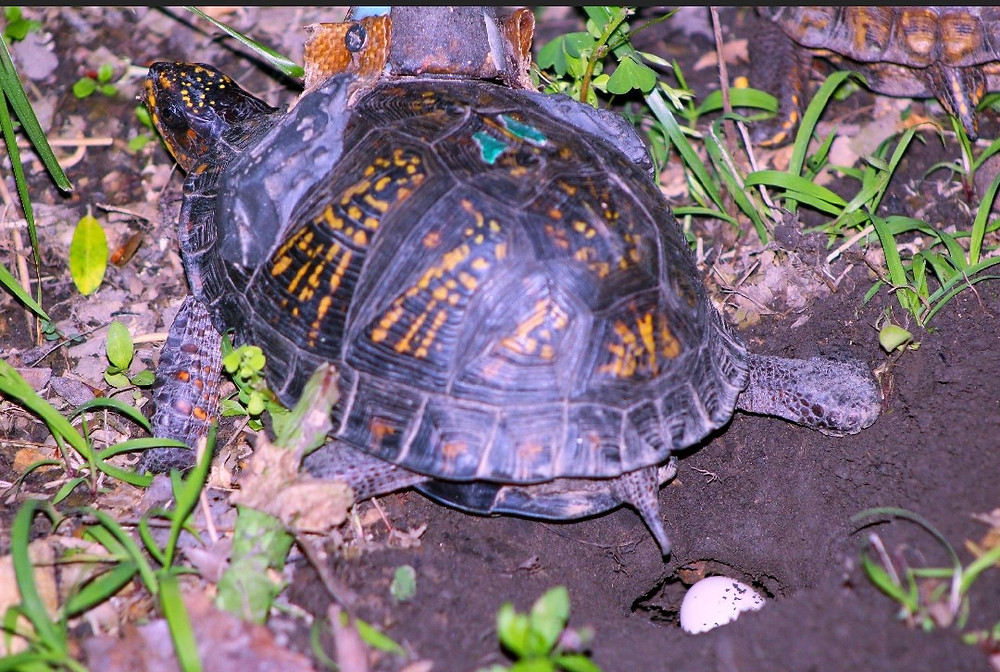 Eastern Box Turtle, Murphy, is seen laying a clutch of eggs.