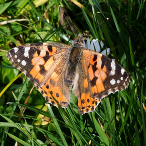 Painted Lady in February