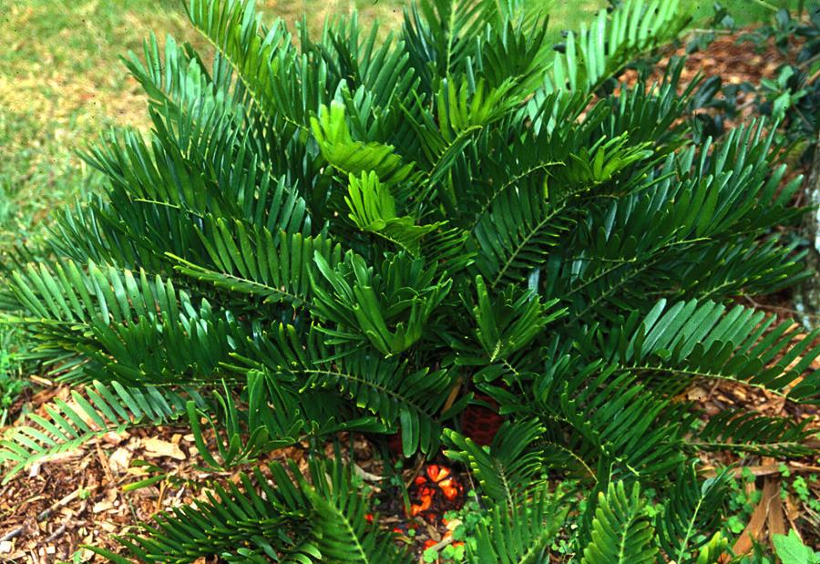 "Zamia pumila/integrifolia ""Coontie"", Belen Courtyard, Miami"