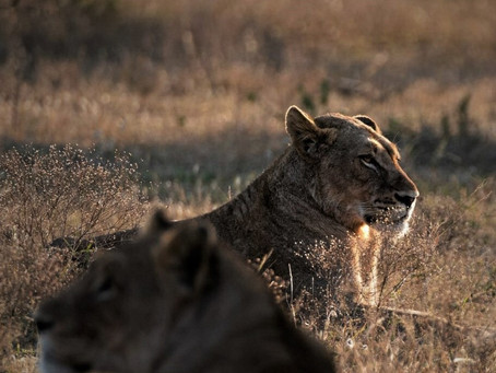 The Highest Concentration Of Large Predators Anywhere In Africa