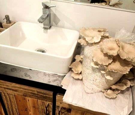 Oyster mushroom spores