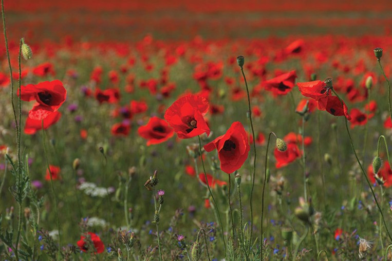 Blooming poppies in a field August summer