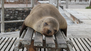 sea lion sleeping on a bench in San Cristobal, Galapagos Islands