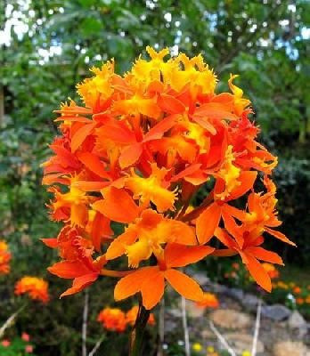 EPIDENDRUM IBAGUENSE FLOWER DETAIL
