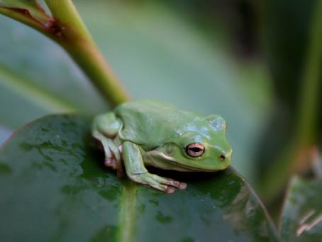 Amphibians in Decline
