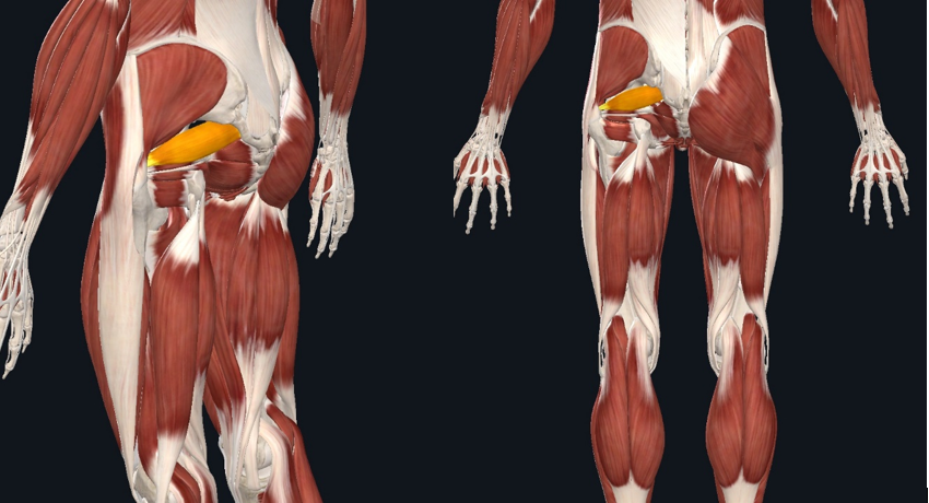 The piriformis muscle is an external rotator and abductor of the hip. It lies deep to the gluteal muscles and can refer pain up to the low back or down the leg.