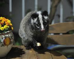 Masked Civet - Image Source: Animalia.Bio