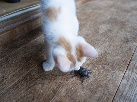 カブトムシ鳴くの知ってた?