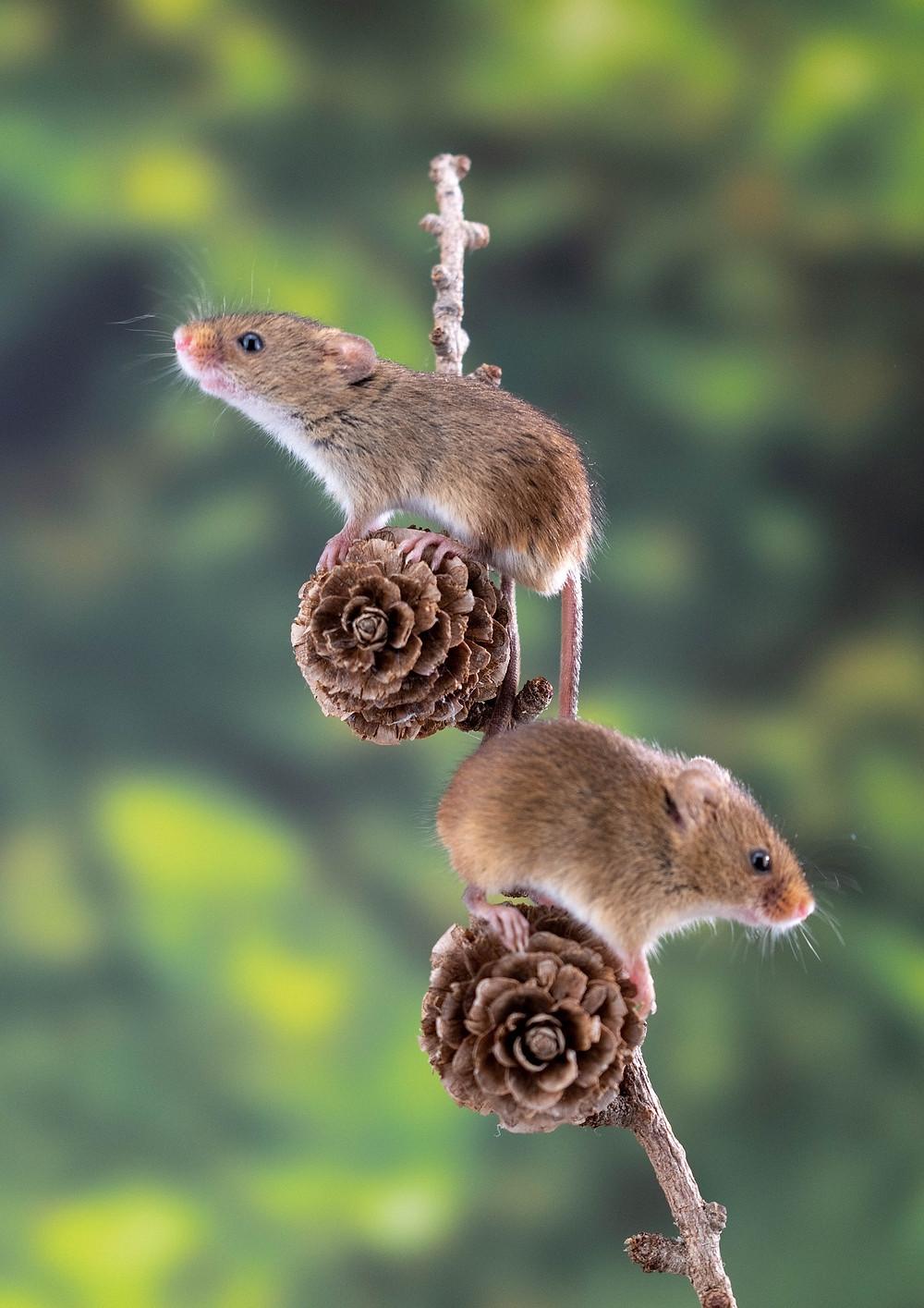 Les deux souris et le bidon de lait, métaphore, hypnose, thérapie