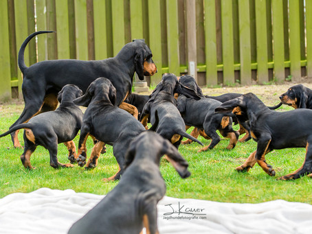 Black and Tan Coonhounds from charming shadow