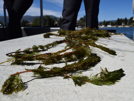 NY Farmers Impressed by Soil-Boosting Qualities of Watermilfoil