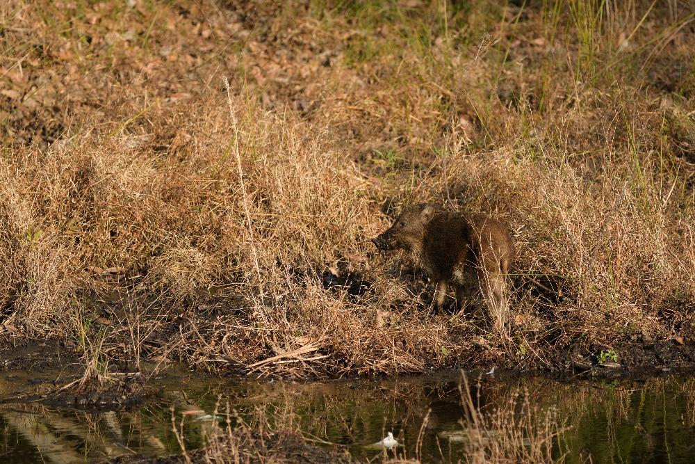 子イノシシ / Young wild boar