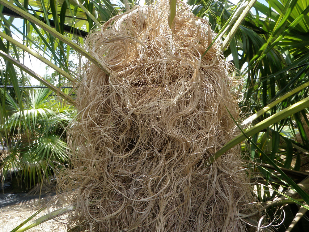 "Coccothrinax crinita/""Old Man Palm"""
