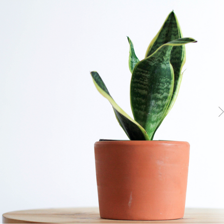 How to care Sansevieria (Snake plant)