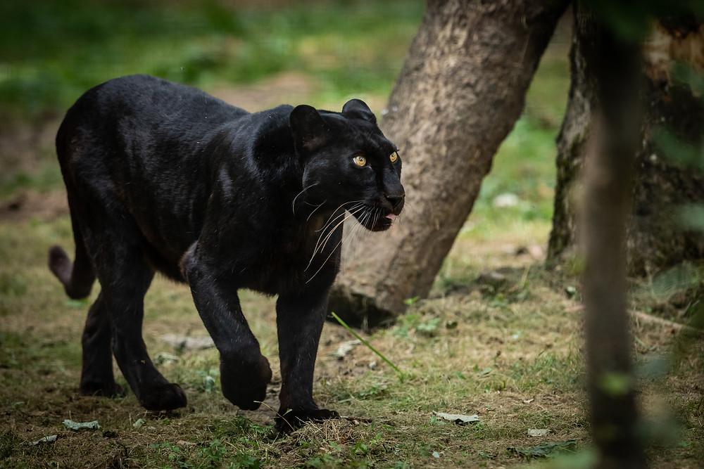 panthère noire , animale sauvage ,
