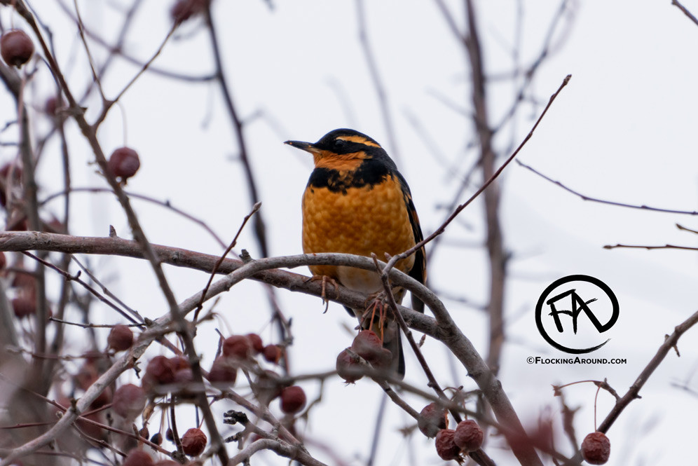 Varied Thrush in Wyoming